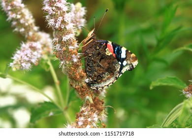 Butterfly red admiral sitting on a mint flower and drinking juic