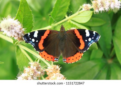 Butterfly red admiral, or Vanessa atalanta, spreading wings, sits on a flower of mint