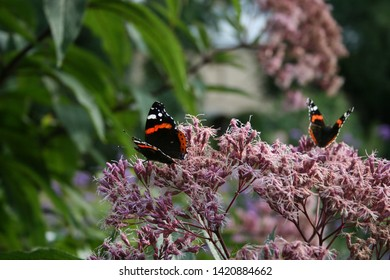 Butterfly Red Admiral (Vanessa atalanta) sitting on Eupatorium maculatum (Spotted Joe-Pye Weed)