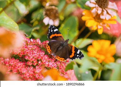 Butterfly Red admiral (Vanessa atalanta) on the flowers