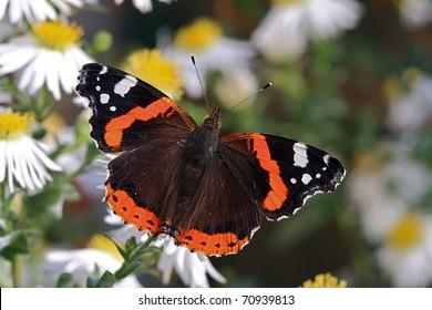 Butterfly Red Admiral (Vanessa atalanta)