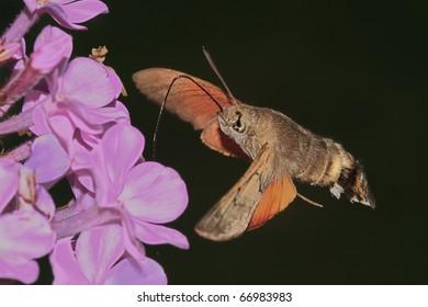Butterfly reveler (Macroglossum stellatarum)