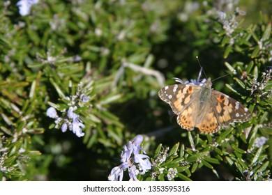 butterfly in rosemary