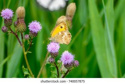 butterfly sandy eye on thistle in bloom
