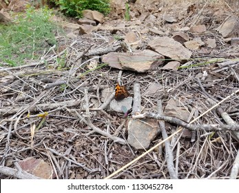 butterfly of the Sardinian countryside