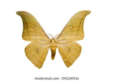 Butterfly Saturnia, Vietnam. Actias menas on white background. Big moth in Saturniidae family. - Shutterstock ID 1931249216