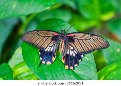 Butterfly scarlet or red mormon sitting on green leaves. Butterfly of the family Papilionidae. From Philippines
