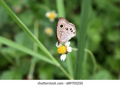 The butterfly seeking nectar on  flower with natural green background,The pattern similar to the yellow eyes with blue dot in black circle on brown wings ,The Common Five-ring