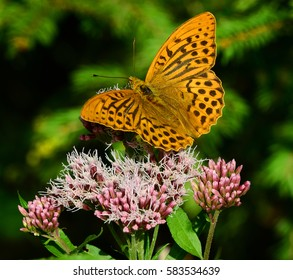 butterfly: silver-washed fritillary