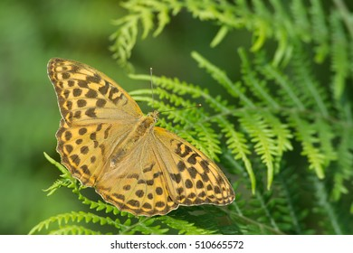 Butterfly ( Silver-Washed-fritillary) female on ferns