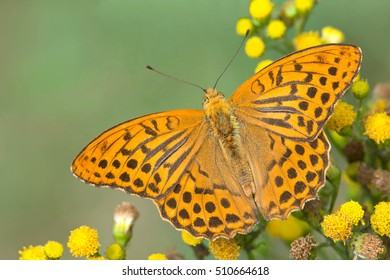 Butterfly ( Silver-Washed-fritillary) male on yellow flowers