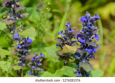 A butterfly sits on a flower Echium vulgare, known as viper's bugloss and blueweed is a species of flowering plant in the borage family Boraginaceae. It is native to most of Europe and Asia.