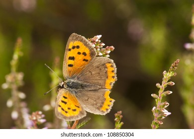 butterfly sitting on a heath blossom