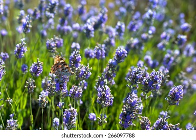 butterfly sitting on a lavender collects nectar