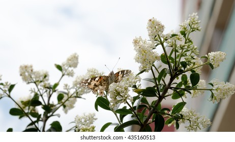Butterfly sitting on lilac