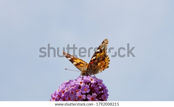 butterfly-small-fox-aglais-urticae-600w-
