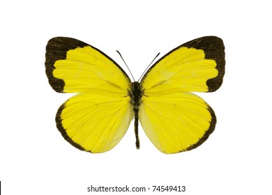 Butterfly, Small Grass-yellow, Eurema smilax, dry-season form, wingspan 30mm