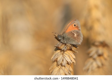 Butterfly Small heath on brown background. (Coenonympha pamphilus) Beautiful butterfly in the sunset. Widlife scene from nature