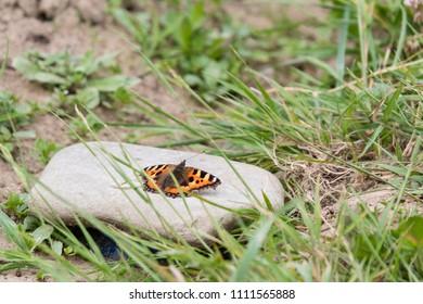 Butterfly small tortoiseshell unturned.