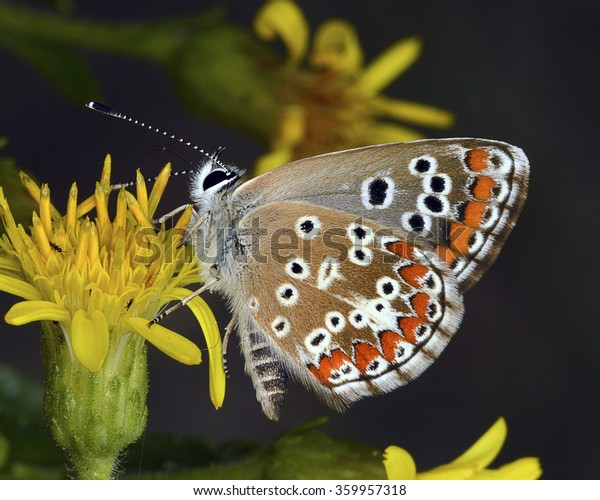 Sưu tập Bộ cánh vảy 3 - Page 24 Butterfly-southern-brown-argus-aricia-600w-359957318