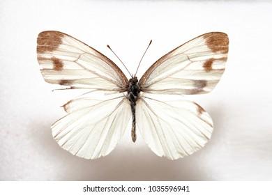 Butterfly specimen korea,Butterfly keunhuinjul,Male