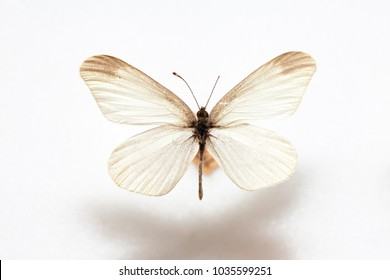 Butterfly specimen korea,Leptidea amurensis,Female