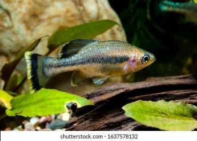 Butterfly splitfin fish Ameca splendes - Shutterstock ID 1637578132