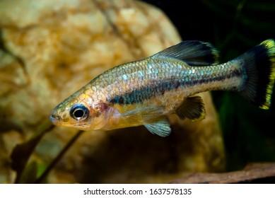 Butterfly splitfin fish Ameca splendes - Shutterstock ID 1637578135