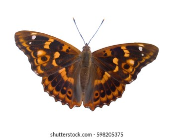 Butterfly Spreaded Isolated. Orange, brown, black butterfly spreading wings. White background.