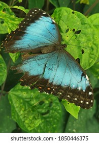 A butterfly spreads its wings while resting on a leaf