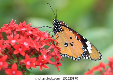 butterfly sucking nectar from flowers