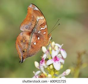butterfly sucking on flower