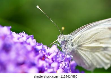 butterfly suckling nectar from budleja davidii flower