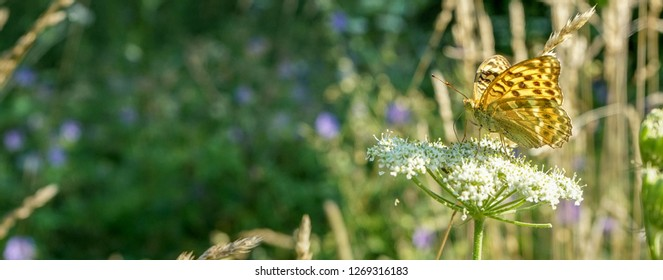 Butterfly in the summer on a white meadow flower