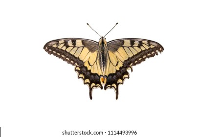 Butterfly Swallowtail (Papilio machaon) isolated over white background