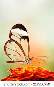 Butterfly with transparent wings feeds on flower