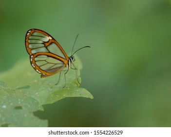 Butterfly with transparent wings in the forest