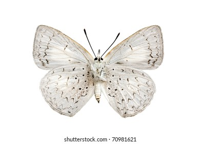Butterfly underside, Common Pencil Blue, Candalides absimilis, female, wingspan 31mm