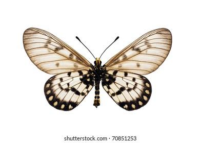 Butterfly underside, Glasswing, Little Greasy, Small Greasy, Acraea andromacha, male, wingspan 53mm