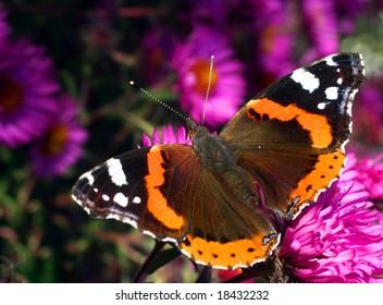 Butterfly Vanessa Atalanta in autumn flower Aster Dumosus