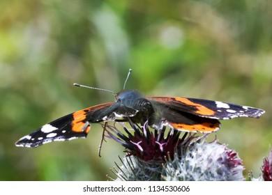 Butterfly Vanessa atalanta Linnaeus on a thistle flower