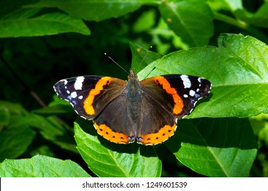 Butterfly Vanessa atalanta, the red admiral or previously, the red admirable, is a well-characterized, medium sized butterfly with black wings, orange bands and white spots. It has a wingspan of about