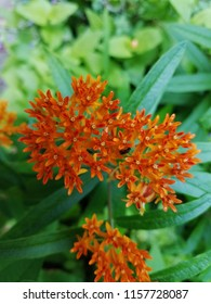 Butterfly weed along a trail in Eagle Creek State Park, Indiana