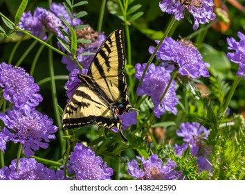 Butterfly, Western Tiger Swallowtail (Papilio rutulus) on purple scabiosa flowers
