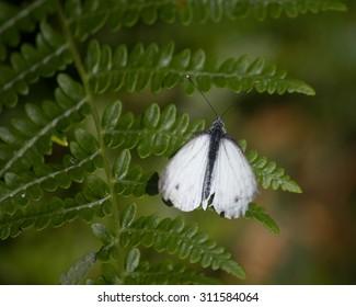 Butterfly white over fern in National Park Atlantic Isles