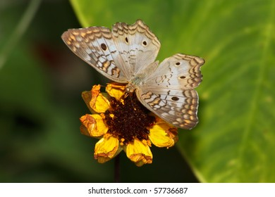 Butterfly; White Peacock, Anartia jatrophae, Top Down View