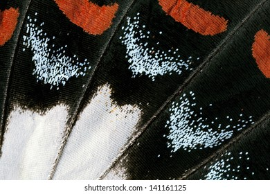 Butterfly wing, Orchard Swallowtail, Papilio Aegeus
