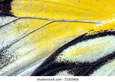 Butterfly wings, Caper White, Belenois java