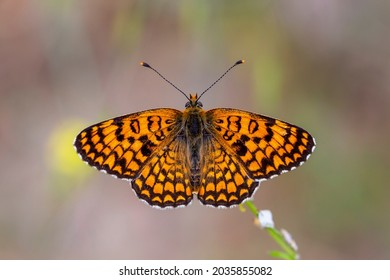 a butterfly with its wingspan wide open, Melitaea phoebe