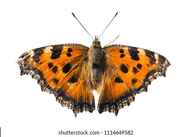 Butterfly yellow legged tortoiseshell or large tortoiseshell (Nymphalis xanthomelas) isolated on white background